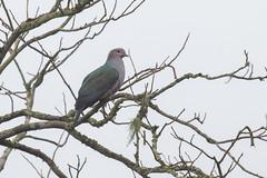 Dcula Verde (ik_kil) Tags: dculaverde greenimperialpigeon duculaaenea dove pigeon kaziranganationalpark kaziranga birdsofindia birds assam india