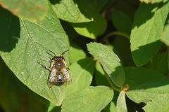 Anthophora furcata, male sunbathing in the garden (early in the morning ) (henk.wallays) Tags: