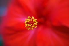 red (enrico sprea) Tags: pistillo fiore hibiscusrosasinensis ibisco malvaceae hibiscusjaponica allaperto pentaxlife brianza italia colore sfuocato macro zoom rosso giallo bokeh vicino vaso pianta giardinaggio floricoltura botanica petali acceso