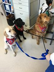 Calvin, Grant, & Teddy (The Three Amigos) making a visit at WRNMMC (hero dogs) Tags: dog labrador cute therapydog servicedog