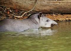Wild South American Tapir (Tapirus terrestris) Pantanal, Brazil (Susan Roehl) Tags: braziltrip2016 thepantanal brazil southamerica tapir tapirusterrestris largestnativeterrestrialintheamazon upto82feet largestsize710lbs endangered habitatloss mammal sueroehl photographictours naturalexposures panasonic lumixdmcgh4 100400mmlens river outdoor greaterswimmer diver mainlyfoundnearwater ngc