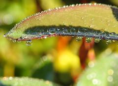 Natures jewels (Lancashire Lass ...... :) :) :)) Tags: droplets rain dew bokeh sparkle nature leaf quote september garden autumn