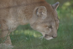 041_Great Cats Park_Cougar (steveAK) Tags: greatcatsworldpark cougar mountainlion