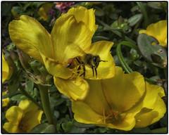 Bee_SAF5625-2 (sara97) Tags: bee copyright2016saraannefinke endangered flower flyinginsect insect missouri nature outdoors photobysaraannefinke pollinator saintlouis towergerovepark