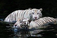 Please don't see me...  White Bengal Tigers. (SilentArtPhotography) Tags: waterscape animal swim beauty water couple wildlife wildanimal wild whitetiger bengaltinger bigcat cat bengaltiger albino white tiger