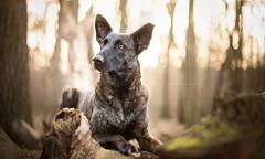 Magda (Dackelpuppy) Tags: hollandse herder dutch shepherd