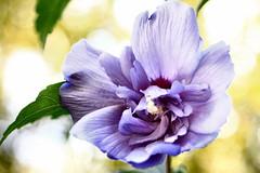 Rose of Sharon (CCphotoworks) Tags: processing moldiv doubleblooms blueflowers bokeh macro petals blooming bloom floweringshrubs blurflowers roseofsharon ccphotoworks