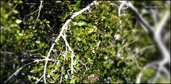 IMG_2614-cropbetes3 (ryancarter2012) Tags: bee eaters menorca cala galdana