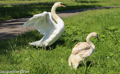 swan with young (jacqy85) Tags: swan zwanen