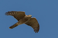 Sparrowhawk (neilblack754) Tags: red arbroath angus