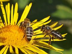 Noch ein Pltzchen frei? - Is there a place yet free? (neusiedler) Tags: biene bee