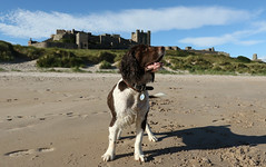 Charlie, wearing Bamburgh Castle, with pride as his crown. (Sandra Standbridge.) Tags: englishspringerspaniel dog adorable male sand beach shadow sky clouds castlecrown justforfun bamburghcastle castle animal outdoor tracks footsteps crown northumberland england bamburgh