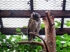 IMG_5286 (jaglazier) Tags: 2016 91416 animals bielefeld bielefeldzoo birds copyright2016jamesaglazier germany owls september teutoburg teutoburgforest teutoburgerwald zoos parks nordrheinwestfalen