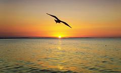 """I saw the shadow of an eagle!"" :) (raisinka) Tags: flickrtravelaward sunset sea baltic bird romantic landscape poland beauty"