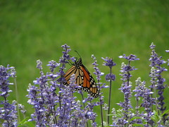 Monarch Butterfly Using Proboscis 9.18.16 (vickimvh) Tags: lavender orange green insect wings nature nectar summer proboscis