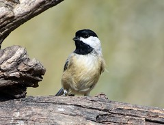 DSC_0592=1Chickadee (laurie.mccarty) Tags: blackcappedchickadee nature bokeh background nikond810 nikon outdoors wildlife birds bird chickadee