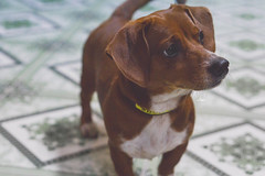 Beoty the dachshund blood dog (iSam's) Tags: beoty dachshund blood dog brown brunette red hair sausage