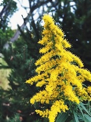Flower on a tree (nikitalesnik) Tags: plant yellow flower iphone6plus iphone6 phone iphone