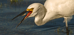 The Catch (cetch1) Tags: nature snowyegret egrettathula mfcc aigrette garceta specanimal aigretteneigeuse garcetablanca wildlifeaction northerncaliforniawildlife hennysanimals