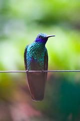 Sparkling Violet-ear (ufous-tailed Hummingbird (Amazilia tzacatl)) (sussexbirder) Tags: hummingbird hummingbirds amazilia tzacatl violetearssparkling ufoustailed