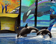 One Ocean (littlestschnauzer) Tags: ocean show blue 2 summer two usa white water pool yellow by one orlando jumping nikon marine shot florida action pair side small dive performance young august diving screen trainers together balck killer whales seaworld mammals leap leaping orcas 2012 projected routine tutor d5000