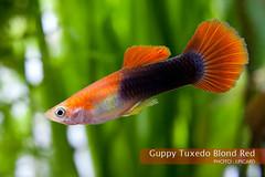 Guppy Tuxedo Blond Red (Jerome Picard) Tags: guppy tuxedo blond red poecilia reticulata poisson fish viviparenovovivipare aquarium aquariophilie aquaristik