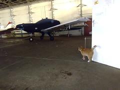 Hangar Cat Patrol (cessna152towser) Tags: beagle cat airport hangar lloyd pup carlisle