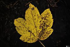 Autumn Leaf (Daniel Wildi Photography) Tags: wood autumn macro nature colors yellow forest photography switzerland leaf daniel autumnal 2012 rubigen wildi cantonofbern schwandwald