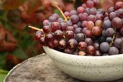 Catawba Grape Harvest (sand_and_sky) Tags: fruit garden gardening harvest grapes grapevine