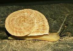 Iberus gualterianus (Linnaeus,1758) (alcedofoto.) Tags: