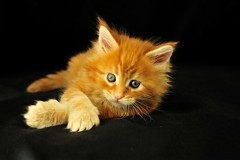 AmbientCat Breeze (indycoon) Tags: red orange cats cute funny tabby kittens mainecoon alittlebeauty