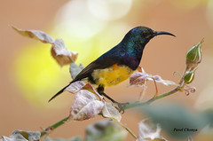Variable Sunbird (Pavel Chonya) Tags: africa male bird tanzania colorful african colourful sunbird passerine variablesunbird cinnyrisvenustus yellowbelliedsunbird