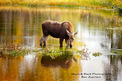 Young Moose (Aspenbreeze) Tags: autumn lake animal pond wildlife moose wildanimal beverly wyoming babymoose thegalaxy wyomingwildlife youngmoose juvenilemoose zuerlein aspenbreeze blinkagain rememberthatmomentlevel1 rememberthatmomentlevel2 rememberthatmomentlevel3 topphotospots tpswildlife bestevergold gpsetest