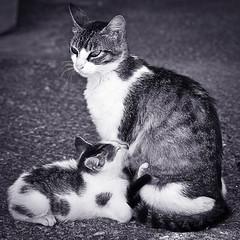 Mamando (Juan Antonio Cap) Tags: pet animal cat kat feline chat pussy kitty gato felino katze mace  gatto  mascota kot gat koka kedi gatito kissa kttur maka kucing pusa mo moix   kitti  minino    pisic blackwhitephotos