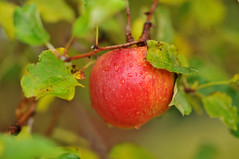 apple in tree first snow water (houstonryan) Tags: art apple rain print photography for drops nikon october ryan sale houston free drop photograph dew lance raindrops raindrop 2012 freelance d300s houstonryan