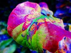 Autumn leaves (peggyhr) Tags: blue red canada black green yellow vancouver gallery dof bc bokeh dusk turquoise curves magenta autumnleaves fuschia textures harmony showroom colourful soe finegold thegalaxy peggyhr heartawards artofimages thebestvisions shootingstarsawards mygearandme blinkagain soulocreativity~level1~ thenewringofexcellence chariotsofnaturelevel1 supersixstage1~flickrbronze niceasitgets~level1 closeupimg0409aa