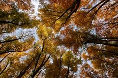 """Verso il ... cielo ("""" paolo ammannati """") Tags: italy panorama mountain me foglie alberi forest italia natura io cielo tuscany toscana autunno colori ricordi viaggi montagna verna bosco casentino foresta laverna faggio chiusidellaverna paoloammannati effettinaturali"""