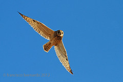 Coruja-do-nabal | Short-eared owl (Asio flammeus) (françois26) Tags: bird portugal nature birds europe wildlife aves ave douro birdwatching cabedelo estuário vilanovadegaia shortearedowl asioflammeus wildlifephotography biodiversidade ポルトガル corujadonabal canidelo canonef300mmf4lisusm mywinners lavadores franciscobernardo 포르투갈 canoneos7d cizos reservanaturallocaldoestuáriododouro françois26