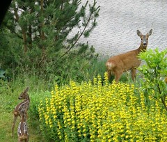 News from my moster's garden (Jaedde & Sis) Tags: garden three doe deer bent rådyr bigmomma gamewinner offsprings challengefactorywinner thechallengefactory gamex2winner storybookwinner pregamesweepwinner