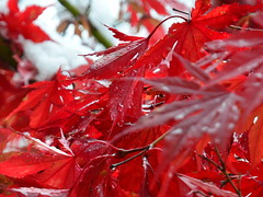 Japanese Maple/ Japonski javor (Silva Predali) Tags: autumn light red snow leaves drops japanesemaple grosuplje raindroplets jesen listi rdea japonskijavor svetloba nikon7000 denekaplji