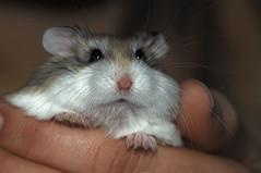 Roborowski-Zwerghamster (Phodopus roborovskii) (Celimaniac) Tags: cute nager sweet hamster nikond2x phodopusroborovskii me2youphotographylevel2 me2youphotographylevel1 roborowskizwerghamster