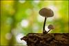 Mushroom Season (beppeverge) Tags: autumn fall closeup forest season mushrooms natura fav20 fungi fungus funghi autunno bosco valsesia sottobosco fav10 funghimushroomsbalangerabosco