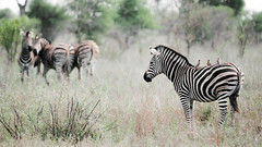 Zebra and friends (joyrex) Tags: green bird nature animal southafrica natuur explore zebra krugernationalpark kruger zuidafrika krger