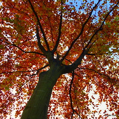 autumnal beech (Jοel) Tags: uk blue autumn sky brown tree fall up leaves clouds bristol gold looking branches bark trunk clifton beech