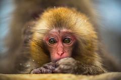 Baby Snow Monkey (moaan) Tags: baby snow digital zeiss monkey dof bokeh 100mm utata bathing nagano ze jigokudani japanesemacaque f20 makroplanar 2013 canoneos5dmarkiii jigokudanisnowmonkeypark zeissmakroplanart2100ze jigokudanispa carlzeissmakroplanart100mmze bathingmonkey