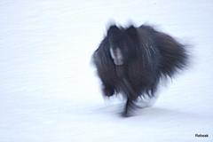 Bear Flash (Rebeak) Tags: bear dog snow black blur speed fur nikon running pomeranian cannie rebeak cy365