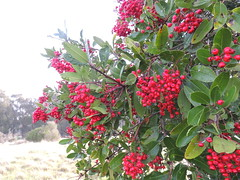 Christmas Berry (Talley1144) Tags: red green ebrp toyon christmasberry pointpinole