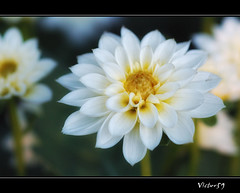 Mani tese (sirVictor59) Tags: italy flower nikon fiore viterbo dalia lazio sirvictor59 oltusfotos mygearandme mygearandmepremium mygearandmebronze vigilantphotographersunite