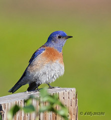 'the bluebird of happiness' (d-lilly (in & out & away!)) Tags: ngc npc westernbluebird blinkagain fernandezregionalpark2013