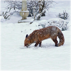 A hungry visitor (hehaden) Tags: winter red snow garden square sussex fox hungry vulpesvulpes